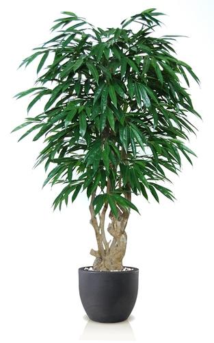 Longifolia Malabar 180 cm Green